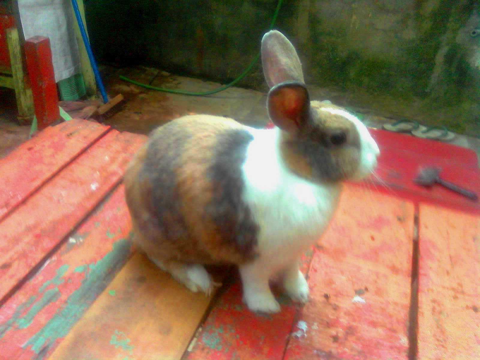 kelinci harlequin
